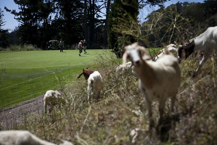 For the first time ever, a hungry herd of goats is being invited to Presidio Golf Course to tame the overgrown ivy, blackberry, and hemlock that have popped up around the links. San Francisco, Calif. on Tuesday, Aug 07, 2012. Photo: Sonja Och, The Chronicle