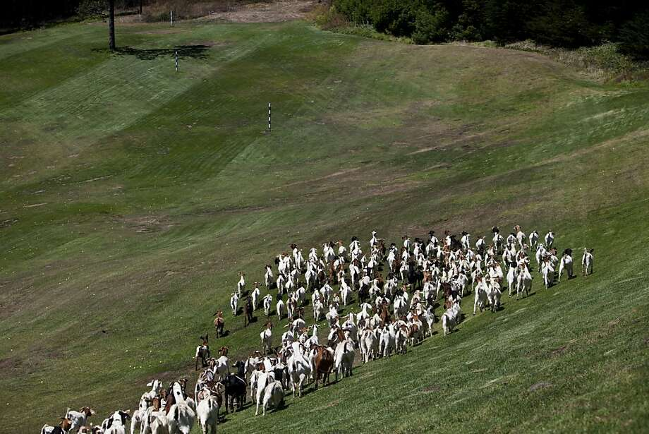 For the first time ever, a hungry herd of 300 goats is being invited to Presidio Golf Course to tame the overgrown ivy, blackberry, and hemlock that have popped up around the links. San Francisco, Calif. on Tuesday, Aug 07, 2012. Photo: Sonja Och, The Chronicle