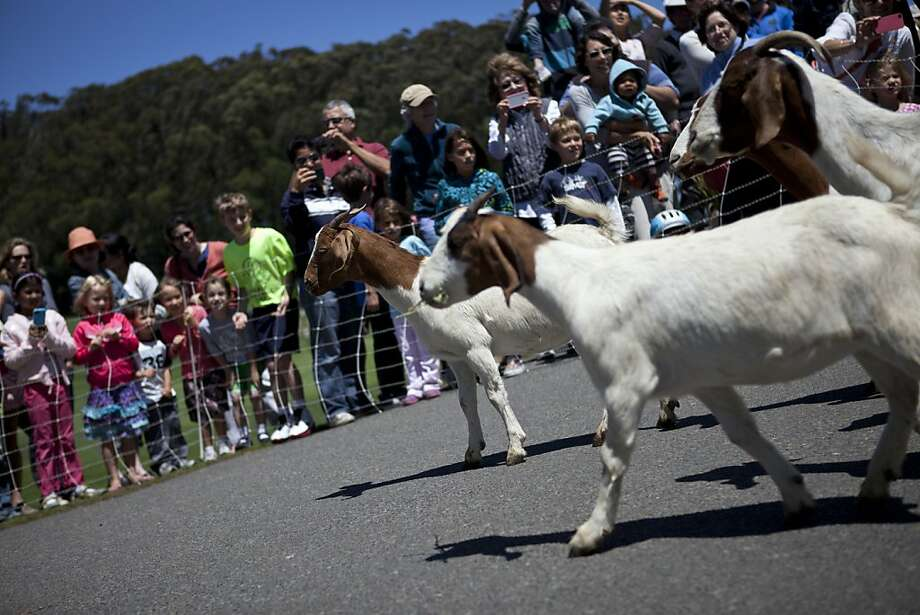 Golfers and families came to see the herd of 300 goats at the Presidio Golf Course in San Francisco, Calif. on Tuesday, Aug 07, 2012. Photo: Sonja Och, The Chronicle