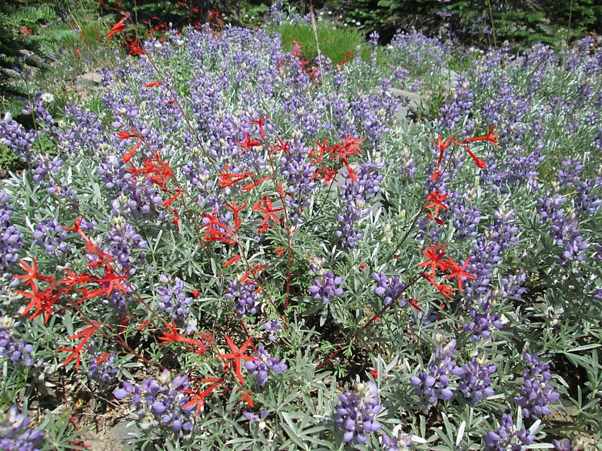 Scarlet gilia peppered amid lupine, highlight a wildflower spectacle this week, best at elevations 7,400 to 7,700 feet on slopes of Mount Shasta