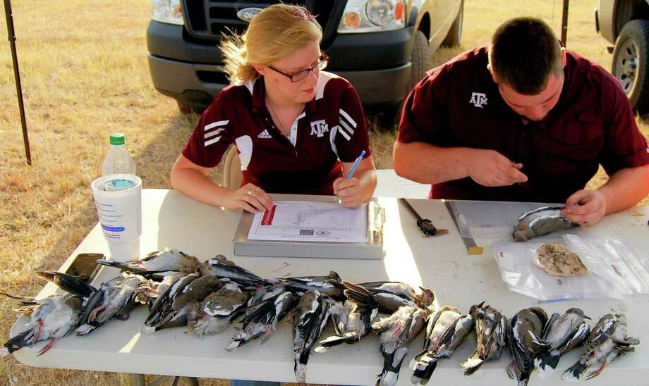 A limit of donated white-winged doves ready for examination by Texas A&M University undergraduates Taylor Jacobs, left, and Kyle Hand will be used as part of a two-year study being conducted to learn more about the recruitment and travel patterns of the popular game birds. Photo: Ralph Winningham / For The Expre