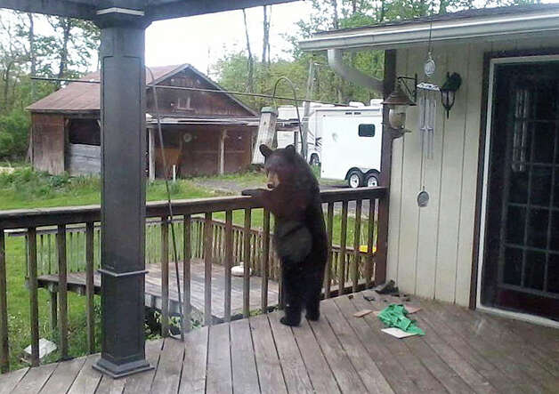 In this May 9, 2012 photo provided by Donna Wiltsie, a bear searches a porch for food in Catskill, N.Y. With their normal summer diet of greens and berries shriveled by summer heat and drought, hungry bears in New York and other states have been rummaging through garbage, ripping through screens and crawling into cars in search of sustenance. (AP Photo/Donna Wiltsie) Photo: Donna Wiltsie