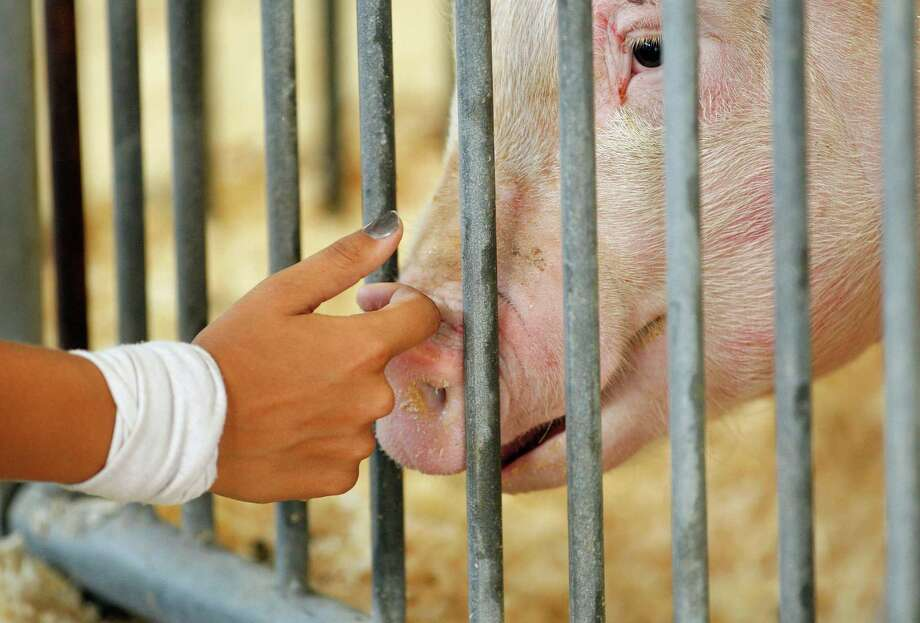 In this Aug. 1, 2012 photo, a participant checks on her pig in the Swine Barn at the Ohio State Fair, in Columbus. The Centers for Disease Control and Prevention said Thursday, Aug. 9, 2012, there's been a five-fold increase of cases of a new strain of swine flu that spreads from pigs to people. The case count jumped from 29 a week ago to 158 this week, thanks to a wave of new cases confirmed in Indiana and Ohio, many of them attributed to contact at fairs. The flu does not seem to be unusually dangerous, like the strain in 2009 that killed at least 12,000. Most or all of the cases appear to have spread from pigs to humans, meaning it's not very contagious. (AP Photo/Columbus Dispatch, Kyle Robertson) Photo: Kyle Robertson / The Columbus Dispatch