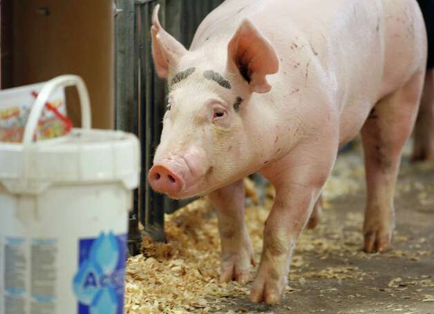In this Aug. 1, 2012 photo, a pig makes it's way through the Swine Barn at the Ohio State Fair in Columbus. The Centers for Disease Control and Prevention said Thursday, Aug. 9, 2012, there's been a five-fold increase of cases of a new strain of swine flu that spreads from pigs to people. The case count jumped from 29 a week ago to 158 this week, thanks to a wave of new cases confirmed in Indiana and Ohio, many of them attributed to contact at fairs. The flu does not seem to be unusually dangerous, like the strain in 2009 that killed at least 12,000. Most or all of the cases appear to have spread from pigs to humans, meaning it's not very contagious. (AP Photo/Columbus Dispatch, Kyle Robertson) Photo: Kyle Robertson / The Columbus Dispatch