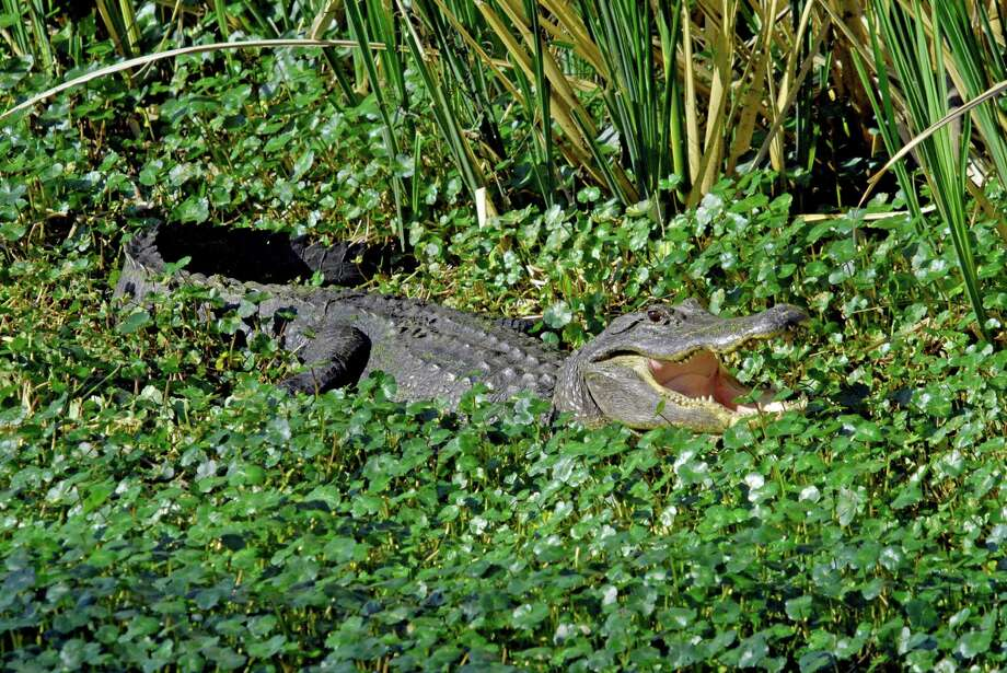 Look for alligators at Brazos Bend State Park. / handout