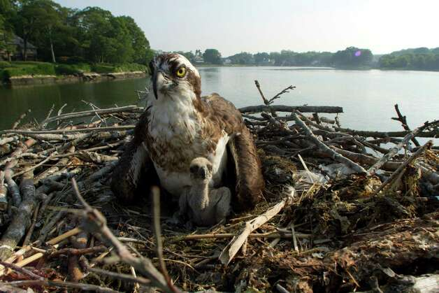 An osprey tends to its young in a large nest they built on a Greenwich Harbor dock, in this undated photo. Jacob Steinberg, of Greenwich, has filmed a documentary on the osprey, featuring a couple that returns year after year to the same spot to nest for the summer near Greenwich Harbor. Photo: Contributed Photo