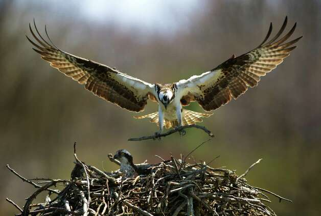 An osprey tends to its young in a large nest they built on a Greenwich Harbor dock, in this undated photo. Jacob Steinberg, of Greenwich, has filmed a documentary on the osprey, featuring a couple that returns year after year to the same spot to nest for the summer near Greenwich Harbor. Photo: Contributed Photo / Greenwich Time Contributed