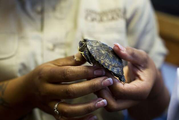 Zookeeper Ashley Terry holds an injured endangered western pond turtle at The Oakland Zoo in Oakland, Calif. Thursday, Aug. 9, 2012. The Oakland Zoo, along with scientists at Sonoma State, are part of a program that helps save turtles. The zoo currently has 44 baby turtles and is planning to release them back to their origin lake in Lake County later this month. Photo: Stephen Lam, Special To The Chronicle