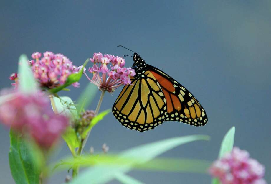 A monarch butterfly sips nectar in Pequot Lakes, Minn. The butterfly makes an annual pilgrimage from the United States and Canada to Mexico. Photo: Ann Heisenfelt / FR13069 AP