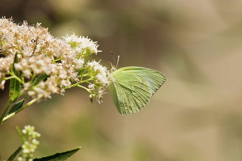 Lyside butterflies can be seen in fair numbers this summer in Big Bend National Park. Photo: Kathy Adams Clark / Kathy Adams Clark/KAC Productions