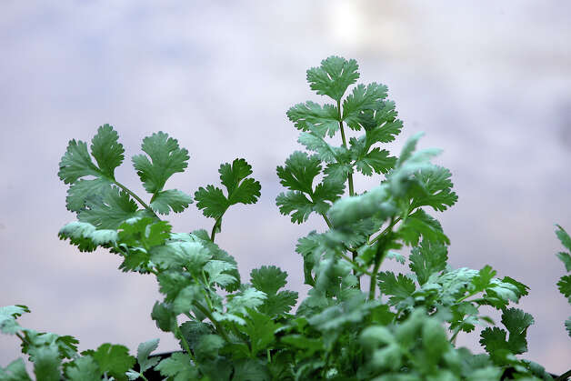 Plant cilantro and other fall herbs in containers in late August and September. Photo: Jerry Lara / © San Antonio Express-News