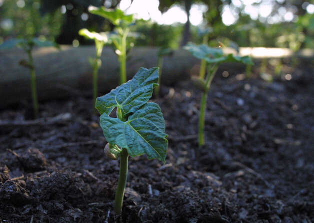 Make sure vegetable seedlings and transplants are free of pests. Photo: Express-News File Photo / SAN ANTONIO EXPRESS-NEWS