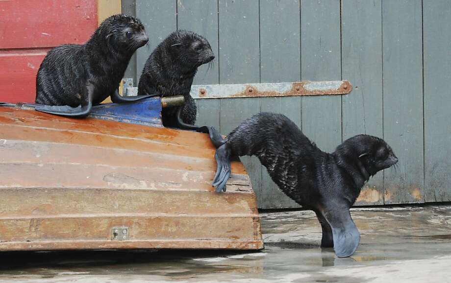 Um, the boat is upside down. Abandon ship! Women and children and Italian cruise liner captains first! (Seal [correction, sea lion] cubs, Hanover Zoo in Germany.) Photo: Julian Stratenschulte, AFP/Getty Images