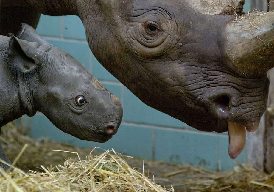 I can't believe the giraffes said you weigh a ton, Mom!Everyone knows it's more like a ton and a half. (The Berlin Zoo's 4-day-old black rhino Akili, meanwhile, weighs 65 pounds.) Photo: Gero Breloer, Associated Press