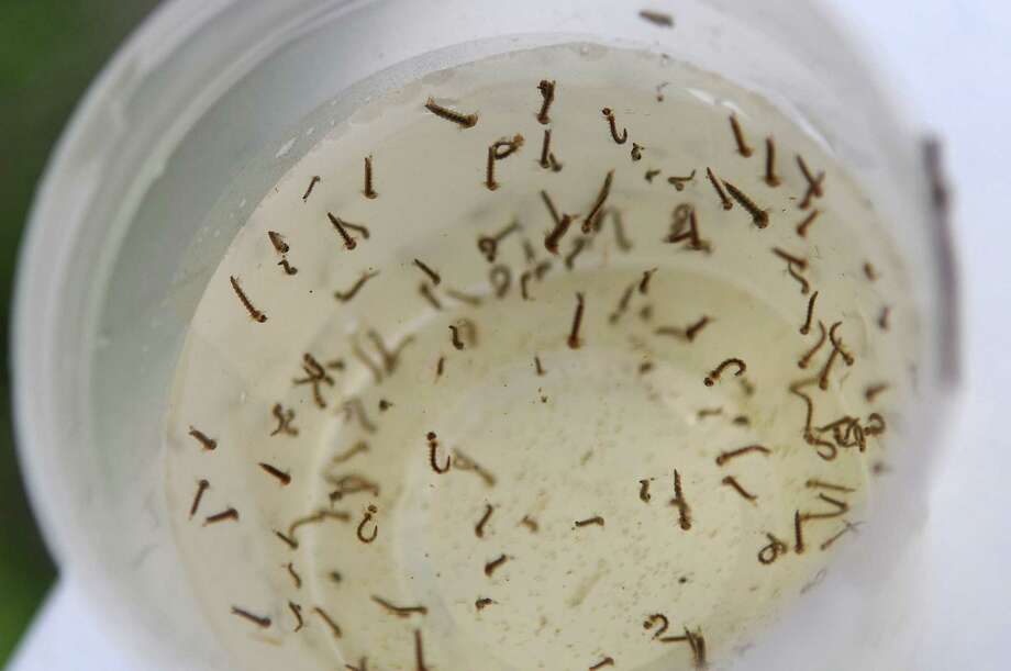 In this Monday, June 20, 2011 photo, mosquito larvea are seen in a test cup collected by Dr. Grayson Brown, an entomologist from the University of Kentucky, near the former Cooper-Whiteside school on South Sixth Street in Paducah, Ky.  Spring floods left pockets of water giving mosquitoes more breeding holes. (AP Photo/The Paducah Sun, Stephen Lance Dennee) Photo: Stephen Lance Dennee, MBO / AP2011
