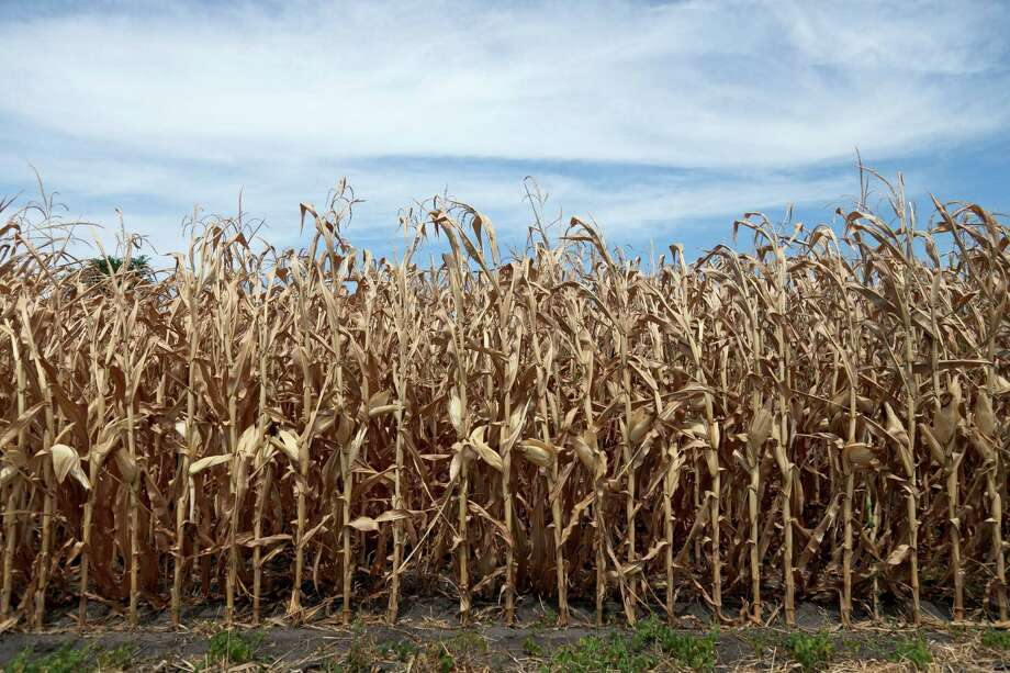 This photo from July 31, 2012 shows dried corn plants in Yutan, Neb. U.S. corn growers could have their worst crop in a generation as the harshest drought in decades takes its toll, the government reported Friday, Aug. 1, 2012, as it forecast the lowest average yield in 17 years.  (AP Photo/Nati Harnik, File) Photo: Nati Harnik