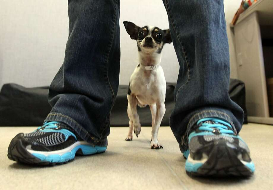 A Chihuahua puppy is a candidate for the Woof program in San Francisco, which began its first training session last week. Photo: Lance Iversen, The Chronicle