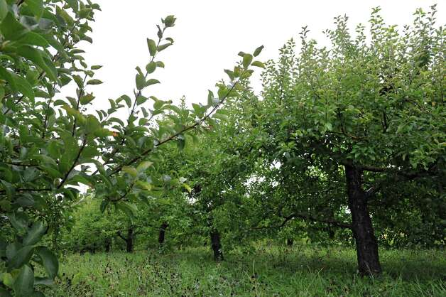 Fruitless apple trees at Goold Orchards Friday, Aug. 10, 2012 in Castleton-On-Hudson, N.Y. The orchard is below half their usual crop this year. (Lori Van Buren / Times Union) Photo: Lori Van Buren