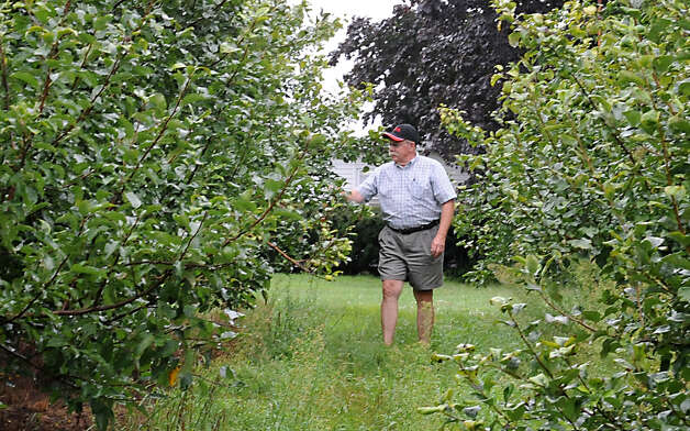 Goold Orchards owner Ed Miller walks through rows of fruitless apple trees on Friday, Aug. 10, 2012 in Castleton-On-Hudson, N.Y. The orchard is below half their usual crop this year. (Lori Van Buren / Times Union) Photo: Lori Van Buren