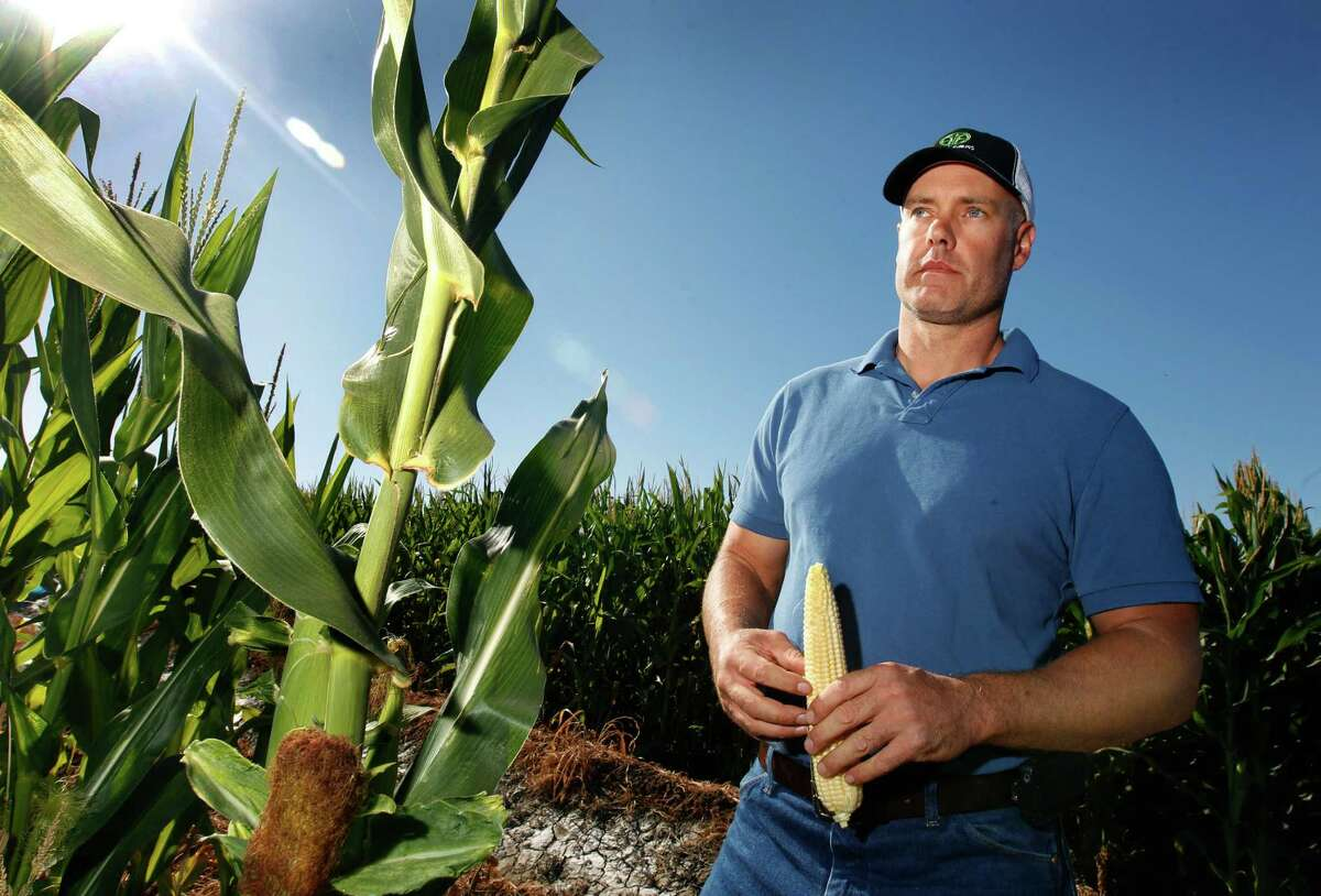 Erik Freese, inspecting his California crop of genetically modified corn for use as feed and ethanol, opposes the labeling that would be required by Proposition 37.