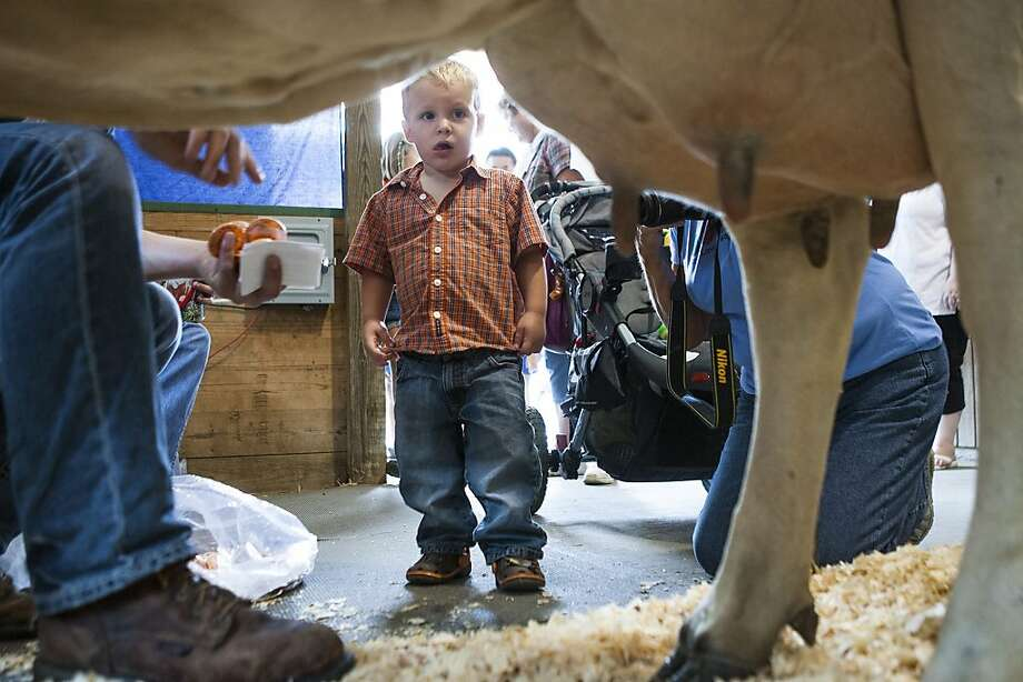 Jayden Rutledge, 2, of Leroy, Ill., tries to gain the courage to milk a cow inside the Illini Dairy Club Milk-A-Cow exhibit at the Illinois State Fair , Friday, Aug. 10, 2012, in Springfield, Ill. Photo: Justin L. Fowler, Associated Press