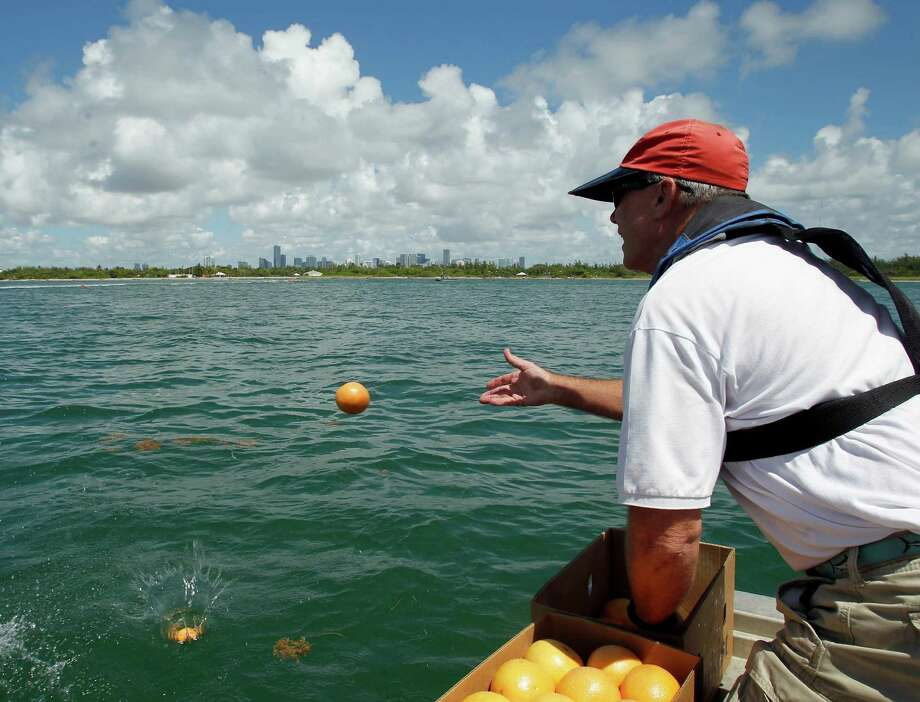 Officials say last week's test of oil spill control techniques, which used grapefruit, oranges and limes in place of crude was fruitful. The test, in part, was spurred by drilling efforts in Cuba. Photo: Alan Diaz / AP