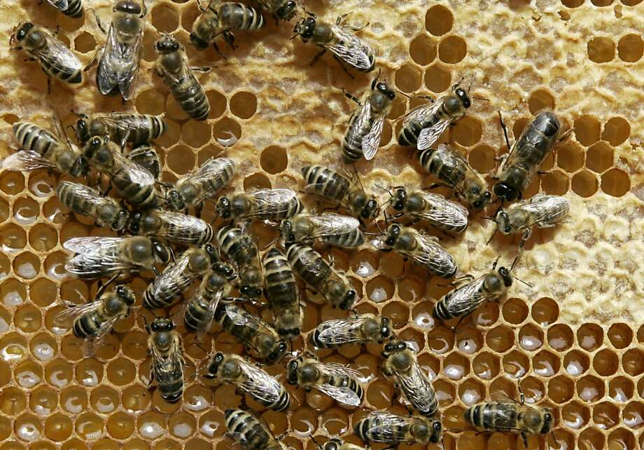 honeybees Photo: Heribert Proepper, Associated Press
