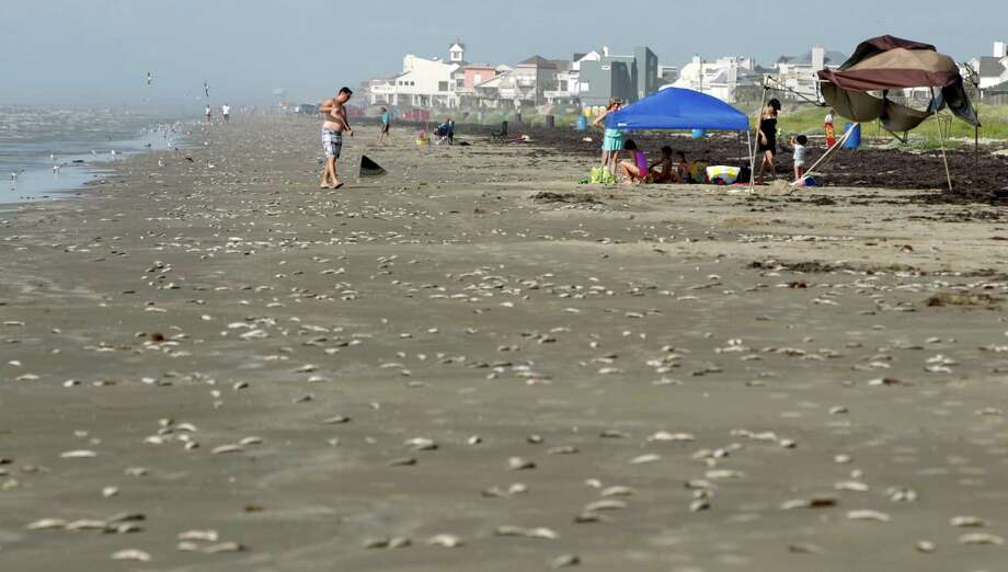 Stan Lewis, of Dallas, rakes dead fish into a pile and away from his family's tent Sunday at Bermuda Beach in Galveston. Photo: Jennifer Reynolds, Associated Press / The Galveston County Daily News
