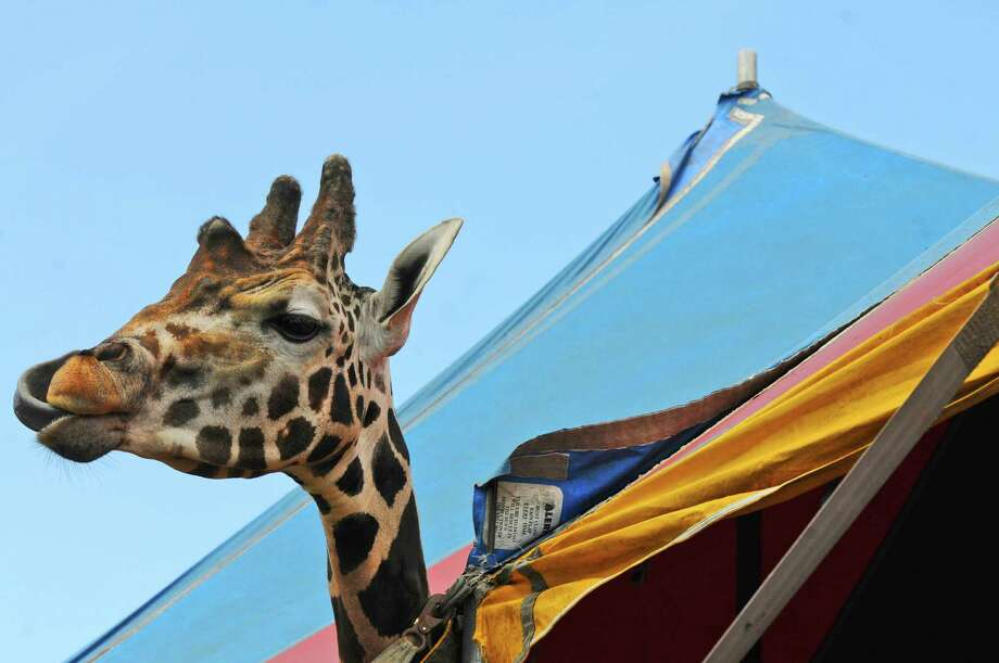 Twigg's, an 18 foot tall giraffe, part of Circus Hollywood, by Corona's of Hollywood, of Florida, has some lunch in preparation for the Tuesday beginning of The Altamont Fair, on Sunday Aug. 12, 2012 in Altamont, NY.   (Philip Kamrass / Times Union) Photo: Philip Kamrass / 00018808A