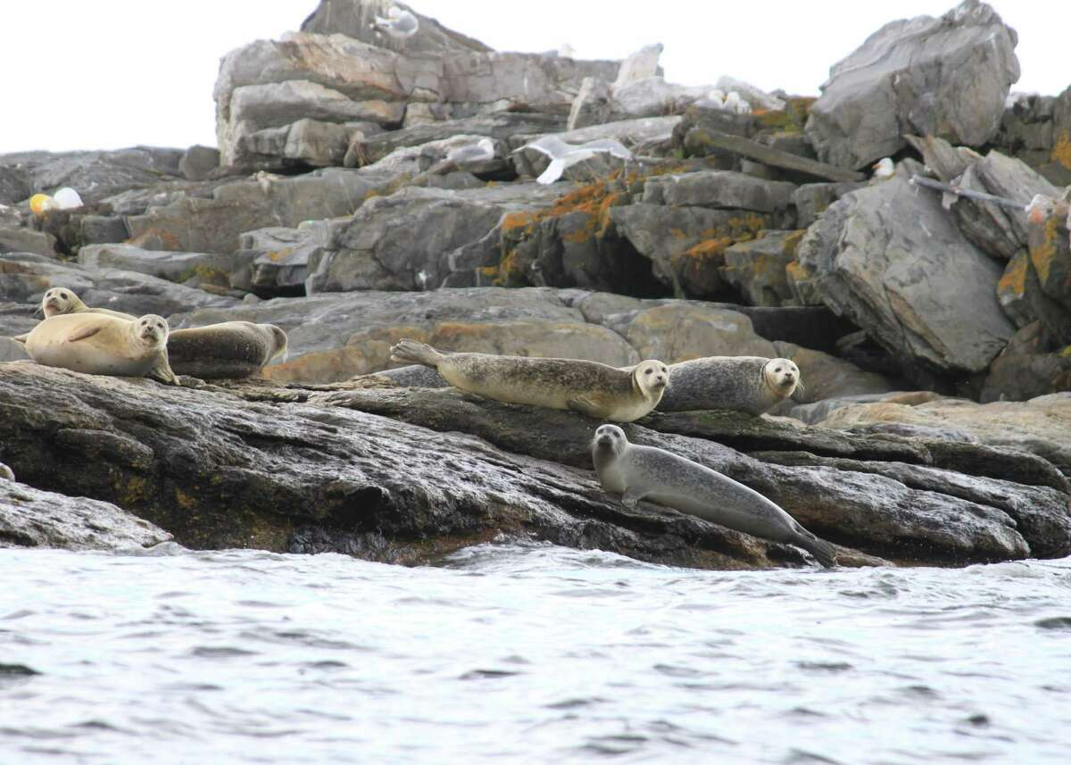 Seals slide up on rocky ledges to draw warmth from the sun near Boothbay Harbor, Maine.