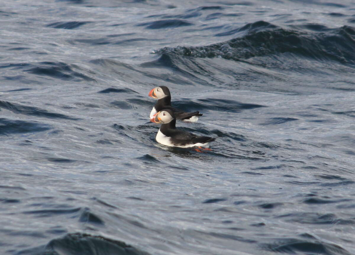 An pair of Atlantic puffins swims near breeding ground Egg Island in midcoast Maine. Eliminated from Maine by hunting in the last century, more than 100 pairs of puffins now return annually to nest on Egg Island after 10 months at sea.