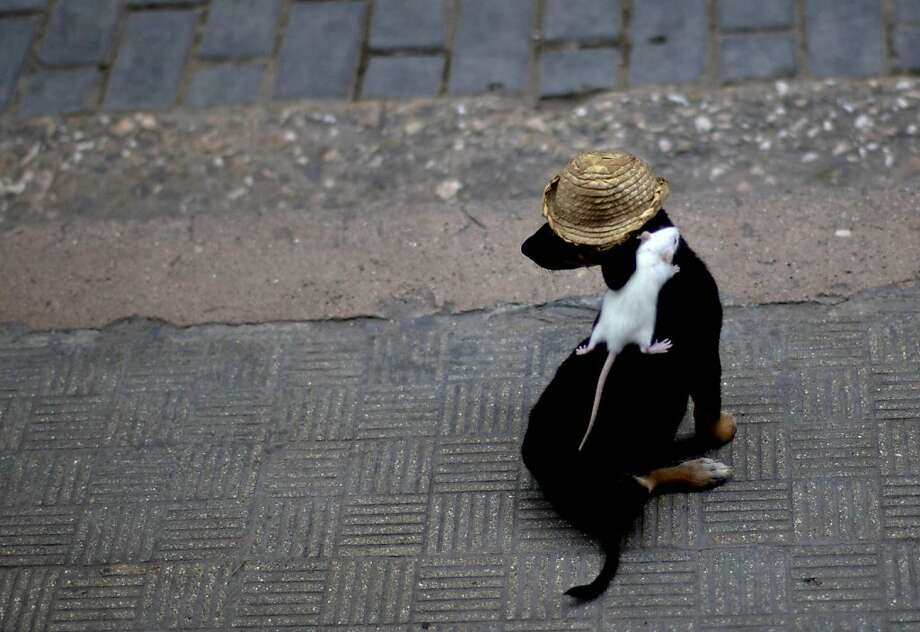 The mouse that rode:To impress the tourists and earn some extra dinero in Old Havana, Miguel Diaz made his dog, Negrito, wear a hat and a rodent. Photo: Ramon Espinosa, Associated Press