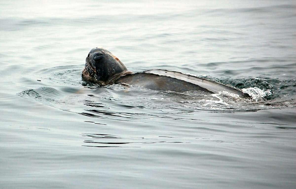 A leatherback sighting on August 5, 2012.