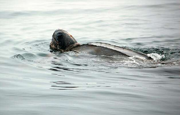 A leatherback sighting on August 5, 2012. Photo: Peter Winch, Oceanic Society