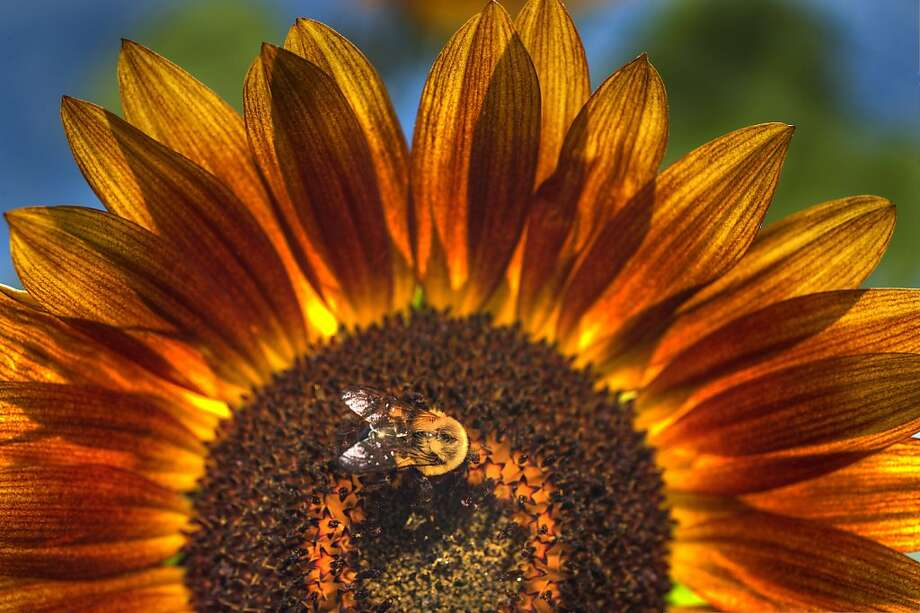 A bee gathers pollen on a sunflower at a home in Bristol Va., on Sunday Aug. 12, 2012. (AP Photo/Kingsport Times-News, David Grace) Photo: David Grace, Associated Press