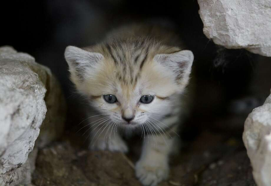 Gritty kitty:A sand cat kitten, one of four born three weeks  ago, peers out from a cave in the Ramat Gan Safari near Tel Aviv. Due to  habitat destruction, sand cats are extinct in the wild in Israel. Photo: Ariel Schalit, Associated Press