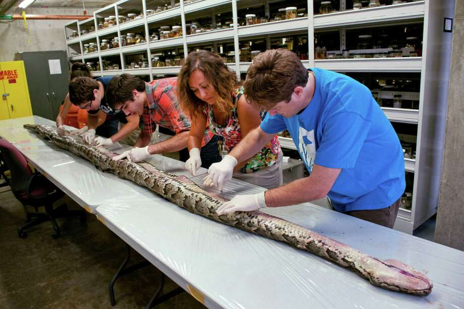 University of Florida, Florida Museum of Natural History researchers examine the largest Burmese python found in Florida. The 17-foot-7-inch snake weighed 164.5 pounds and carried 87 eggs. / University of Florida