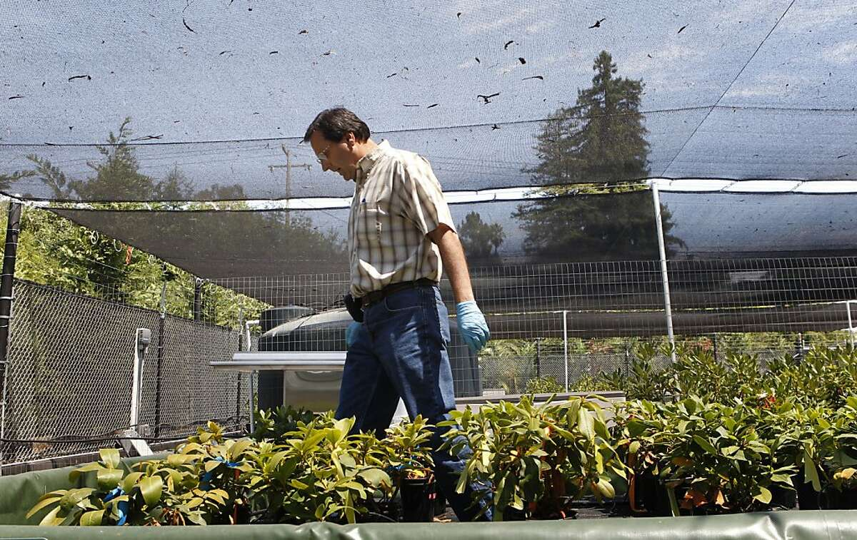 Rick Bostock, of the University of California Davis plant pathology department shows the effects of Phytophthora ramorum, also known as the sudden oak death, on rhododendrons in a quarantined nursery at the National Ornamentals Research Site at Dominican University of California, Tuesday Aug. 14, 2012, in San Rafael, Calif.