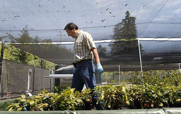 UC Davis plant pathology professor Rick Bostock shows the destructive effects of Phytophthora ramorum, the causative agent of sudden oak death, on plants. Photo: Lacy Atkins, The Chronicle