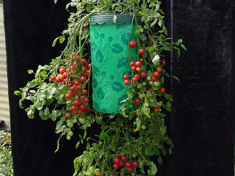 Bloom Tomato 'Dwarf Cherry Surprise' produces an abundance of sweet cherry tomatoes. The plant is small plant is well suited to growing in a pot or hanging basket. Credit: Jerry M. Parsons Photo: JERRY M. PARSONS
