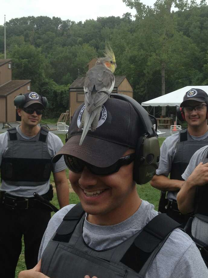 State Police said this cockatiel flew into a firing range in Guilderland on Tuesday and landed on the head of a State Police recruit.  (State Police photo)