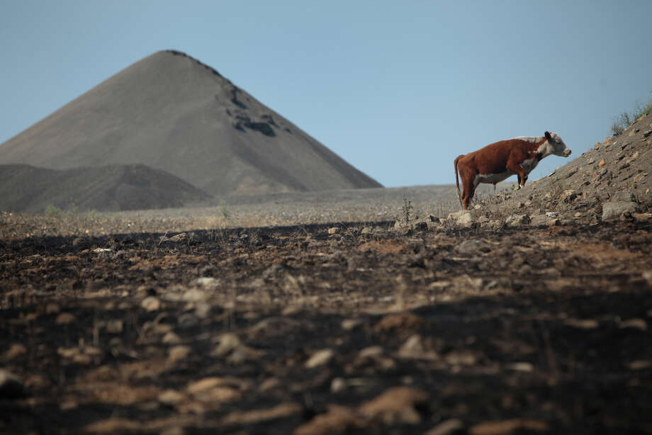 A cow looks for grass to eat in a rock quarry, one of the few areas not burned, above Bettas Road along Highway 97 on Wednesday, August 15, 2012. The Taylor Bridge Fire pushed through neighborhoods and rural areas, destroying an estimated 70 homes and possibly killing hundreds of cattle. Photo: JOSHUA TRUJILLO / SEATTLEPI.COM