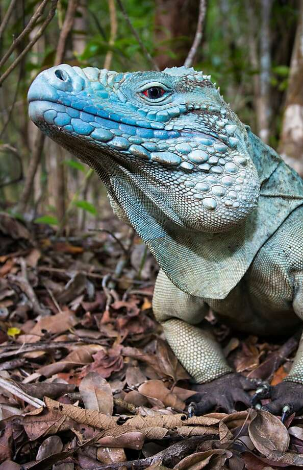 The critically endangered blue iguana is found only in the Cayman Islands in the Caribbean. Photo: Burrard-Lucas.com, Associated Press