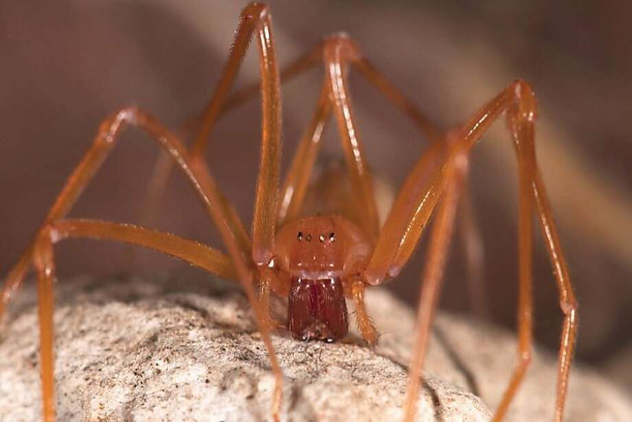 """The discovery of a newfound spider family, named trogloraptor, or """"cave robber,"""" is a rare event. Photo: Joel Ledford, Calif Academy Of The Sciences"""