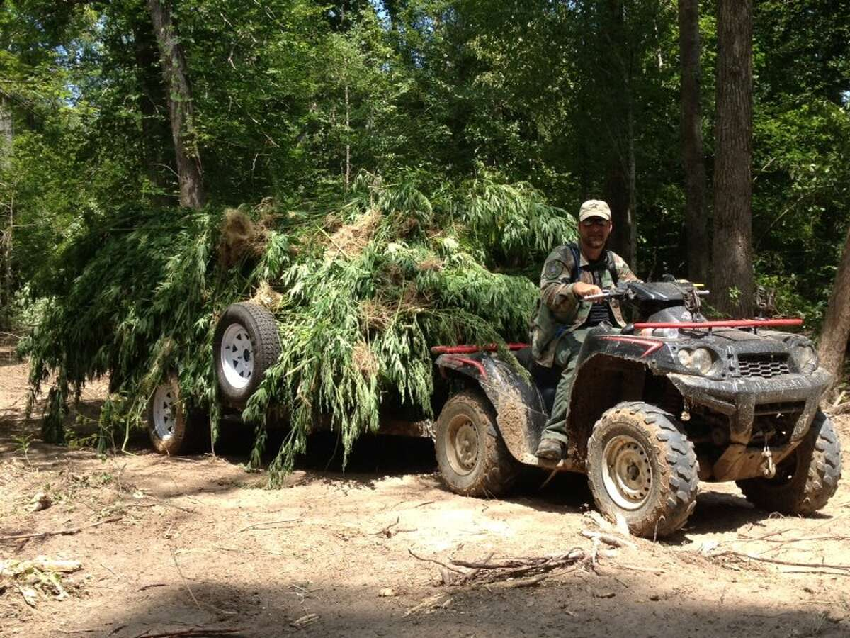These marijuana plants are among 30,300 discovered on a covert farm in Polk County and then confiscated and destroyed. No one has been arrested in connection with the farm, one of the largest ever found in Texas.