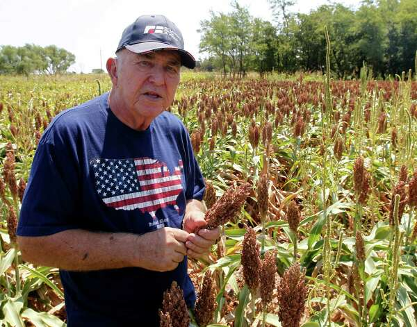 Gary Johnson is pictured in a field of milo sorghum on his farm in Waukomis, Okla, Wednesday, Aug. 15, 2012. The government is on the verge of approving sorghum, a grain mainly used as livestock feed, to make a cleaner version of ethanol. (AP Photo/Sue Ogrocki) Photo: Sue Ogrocki