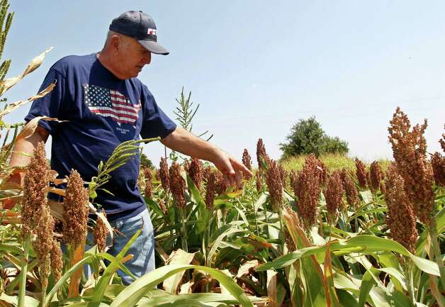 Gary Johnson walks through a field of milo sorghum on his farm in Waukomis, Okla, Wednesday, Aug. 15, 2012. The government is on the verge of approving sorghum, a grain mainly used as livestock feed, to make a cleaner version of ethanol. (AP Photo/Sue Ogrocki) Photo: Sue Ogrocki