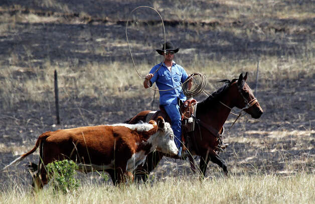 A rancher rounds up a pair of calves near a burned out area Wednesday, Aug. 15, 2012, near Cle Elum, Wash. Crews fighting the large blaze in central Washington hope to increase containment levels by Wednesday evening, but are keeping a wary eye on weather conditions later in the week. The fire burning near Cle Elum has burned dozens of homes and caused about 900 people to evacuate. Photo: Elaine Thompson / Associated Press