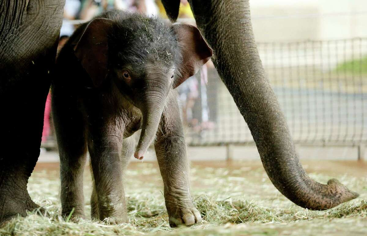 A new born Asian elephant calf Anachli with her mother, at the official presentation at the Zoo in Berlin, Wednesday, Aug. 15, 2012. Anachli was born on Sunday, Aug. 12, 2012.