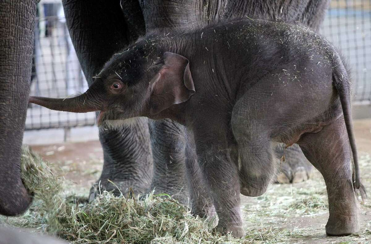 BERLIN, GERMANY - AUGUST 15: The baby Asian elephant Anchali stands in the elephant house next to her mother Pang Pha on August 15, 2012 in the Berlin Zoo in Berlin, Germany. Anchali was born on Sunday, August 12, just under one meter (3.28 feet) tall and weighing 160 kilograms (353 pounds) to Pang Pha and father Victor. Pang Pha was a gift to the Berlin Zoo in 1987 from the Thai government.